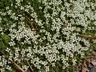 Arenaria tetraquetra - Spanish Sandwort
