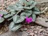 Cyclamen purpurascens - Purple Cyclamen Alpine Violet Persian Violet Sowbread