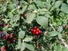 Viburnum lantana var. rugosum - Wayfaring Tree