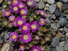 Delosperma ashtonii - Ashton's Hardy Iceplant