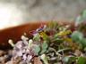 Fuchsia procumbens - Trailing Fuchsia Creeping Fuchsia
