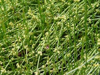 Ephedra distachya ssp  helvetica