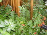 Ruellia brevifolia - Short Leaf Wild Petunia