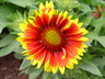 Gaillardia aristata 'Arizona Sun' - Blanket Flower