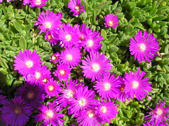 Delosperma Floribundum Sold As Starburst R
