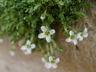 Arenaria tetraquetra var. granatensis