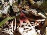 Asarum caudatum - Tailed Snakeroot British Columbia Wild Ginger