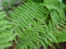 Dryopteris affinis ssp. borreri - Borrer's Scaly Male Fern Buckler Fern