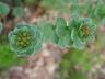 Rhodiola rosea - King's Crown Roseroot