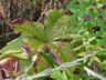 Rodgersia podophylla - Rodgers' Bronze-Leaf