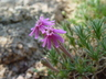 Silene caryophylloides ssp. echinus