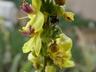 Verbascum undulatum - Wavy Leafed Mullein