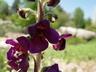 Verbascum wiedemannianum - Indigo Mullein Candlewick Plant