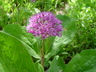 Allium rosenbachianum - Showy Onion Rosenbach Onion
