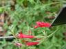Salvia henryi - Crimson Sage Henry's Sage