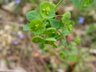 Euphorbia amygdaloides 'Purpurea' - Purple Wood Spurge