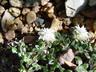 Helichrysum sessilioides