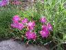 Dianthus caespitosus - Dianthus