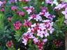 Daphne cneorum 'Puszta' - Garland-Flower Rose Daphne