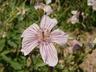 Geranium viscosissimum - Sticky Purple Geranium