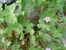 Geranium pyrenaicum - Mountain Cranesbill Hedgerow Cranesbill
