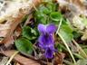Viola odorata - Sweet Violet English Violet