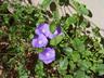 Convolvulus sabatius - Blue Rock Bindweed
