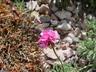 Armeria maritima 'Rubrifolia' - Thrift Sea Thrift Sea Pink