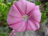 Convolvulus althaeoides ssp. tenuissimus - Mallow Bindweed Riviera Bindweed