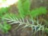 Elymus hystrix - Eastern Bottlebrush Grass Bottlebrush Grass