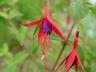 Fuchsia magellanica 'Riccartonii' - Hardy Fuchsia