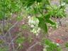 Staphylea sp.