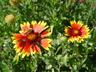 Gaillardia x grandiflora 'Kobold' [sold as Goblin] - Gaillardia Blanket Flower
