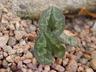 Cyclamen cilicium - Alpine Violet Persian Violet Sowbread Cilician Cyclamen