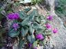 Cyclamen pseudibericum - False Iberian Cyclamen Alpine Violet Persian Violet Sowbread