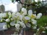 Prunus domestica 'Stanley' - Plum