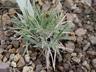 Alopecurus lanatus - Woolly Foxtail Grass
