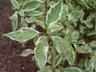 Cornus alba 'Bailhalo' [sold as Ivory Halo (TM)] - Tatarian Dogwood Siberian Dogwood