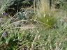 Achnatherum hymenoides - Indian Ricegrass