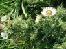 Berkheya cirsiifolia