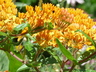 Asclepias tuberosa - Butterfly Weed Butterfly Milkweed