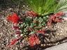 Monardella macrantha - Hummingbird Coyote Mint Red Monardella