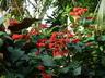 Clerodendrum x speciosum - Java Glory Bean Pagoda Flower Glorybower