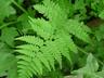 Dryopteris filix-mas - Male Fern Basket Fern