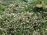 Helichrysum praecurrens