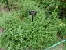 Calamintha nepeta ssp. glandulosa 'White Cloud' - Lesser Calamint