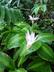 Calathea loeseneri - Brazilian Star Calathea