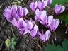 Cyclamen hederifolium - Ivy-Leaved Cyclamen Neapolitan Cyclamen Sowbread