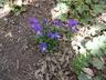 Viola corsica - Corsican Violet Corsican Pansy