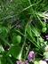 Viola labradorica - Labrador Violet Alpine Violet Dog Violet